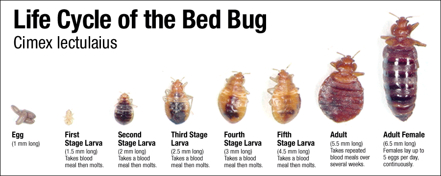 How To Get Rid Of Bed Bugs The Complete Guide 13 Most Effective