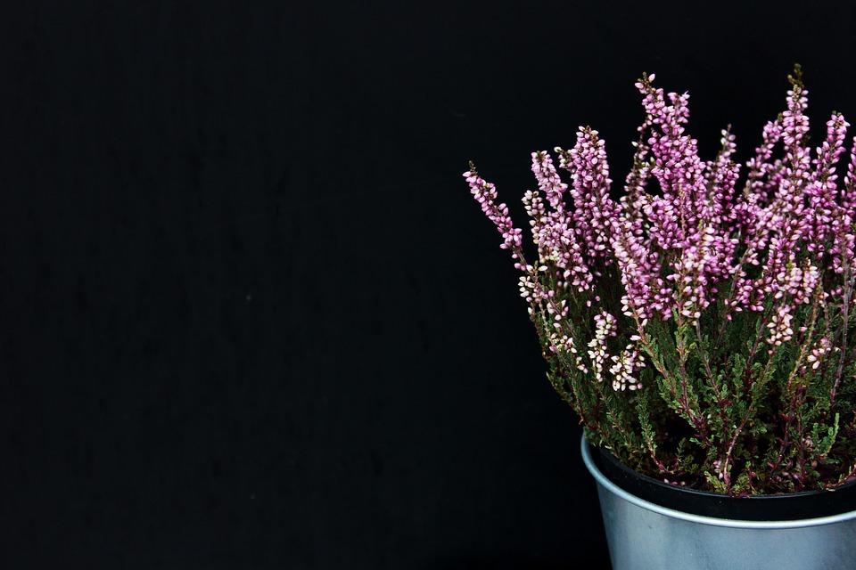 Lavender plant for sleep