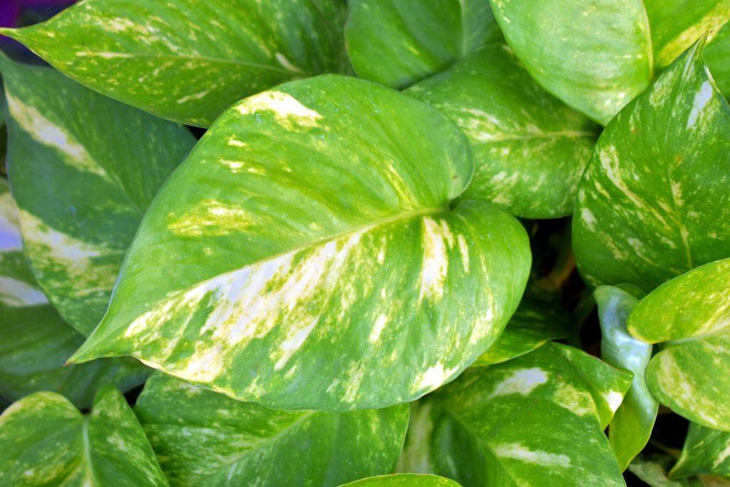 Golden Pothos Plant for Sleep