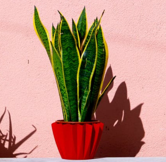 Sleep better with a snake plant