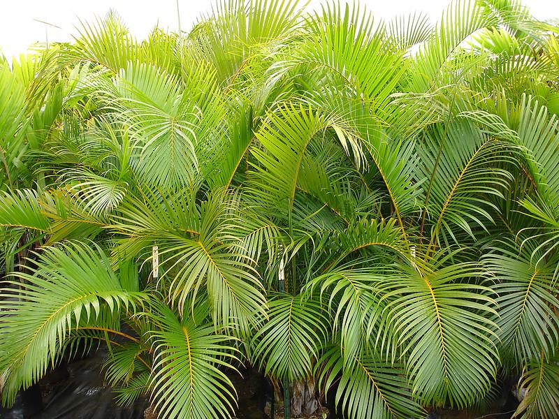 Areca Palm Plant for Sleep