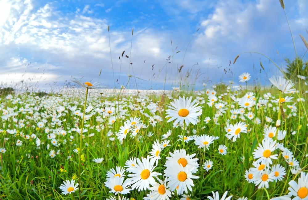 Chamomile Flowers for Sleep