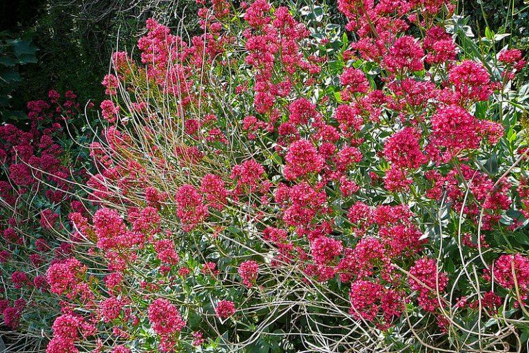 Valerian Plant for sleep