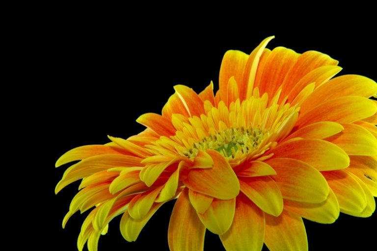 gerbera flower for sleep