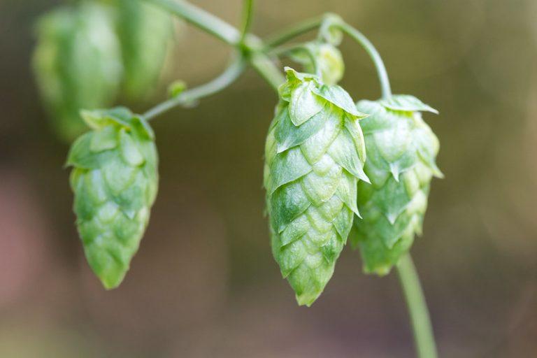 hop cone plant for sleep
